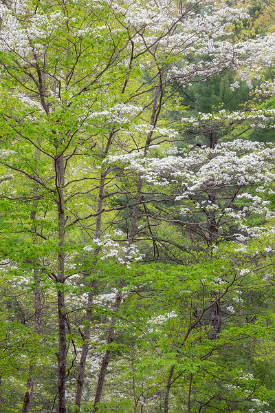 Spring Dogwood Blooms