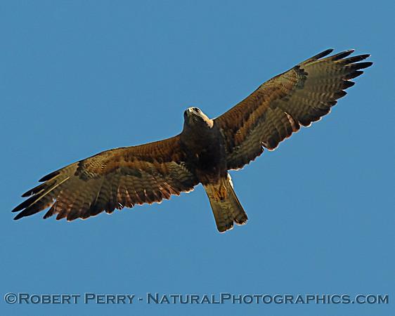 2020 04-13 Colusa County Swainson's Hawks