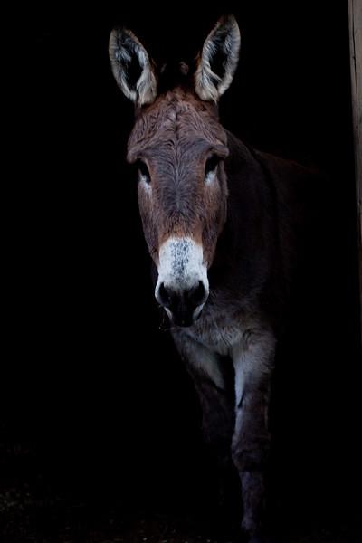Josephine, our rescue donkey.