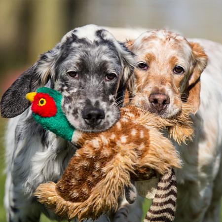 English-Setter-Puppies-Redhara.jpeg