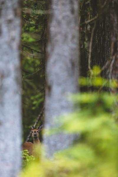 Fall Whitetail Deer