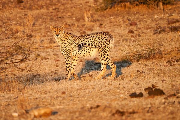 Cheetah Adult Mashatu Botswana 2019