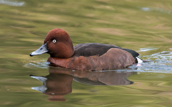 Ferruginous ducks
