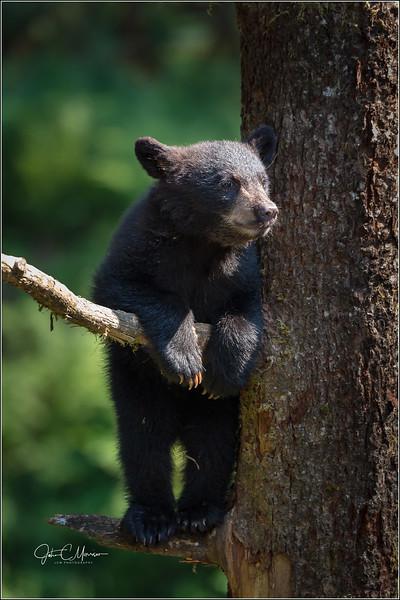 J85_6069 cub in tree L W.jpg