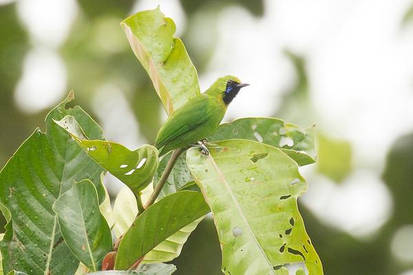 219 Chloropseidae - Leafbirds