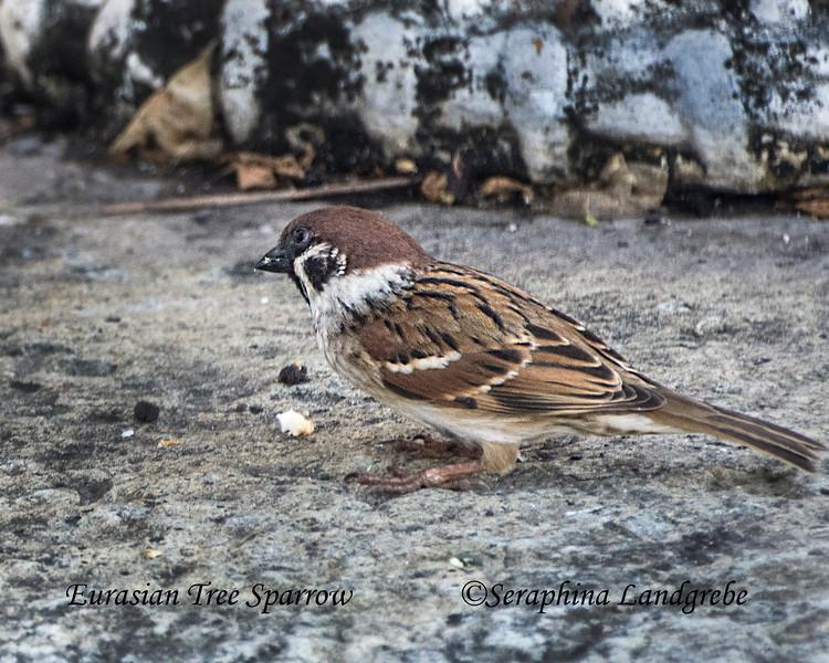 _DSC4733Eueasian tree Sparrow.jpg