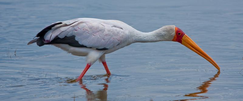 Yellow-billed Stork; September 3, 2012; Lake Nakuru National Park, Kenya