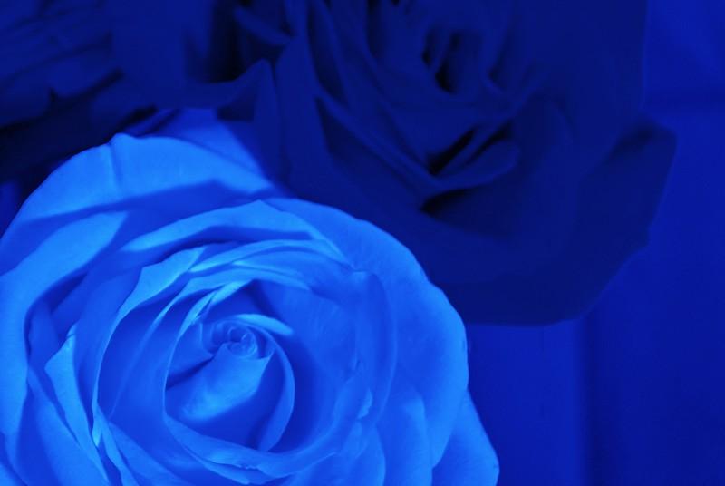 Roses 005.JPG