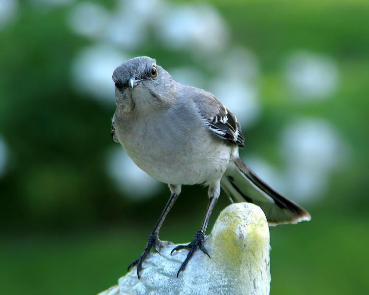 mockingbird_6337.jpg