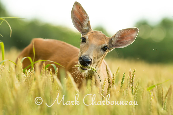Whitetail Deer in The Wild