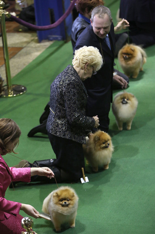 . Pomeranians are shown in the ring during the 137th Westminster Kennel Club dog show, Monday, Feb. 11, 2013 in New York.  (AP Photo/Mary Altaffer)