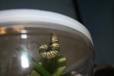Monarch Miracle