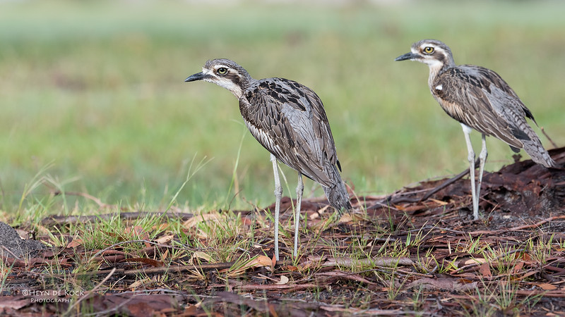 Bush Stone-curlew, Tin Can Bay, QLD, March 2017-6.jpg