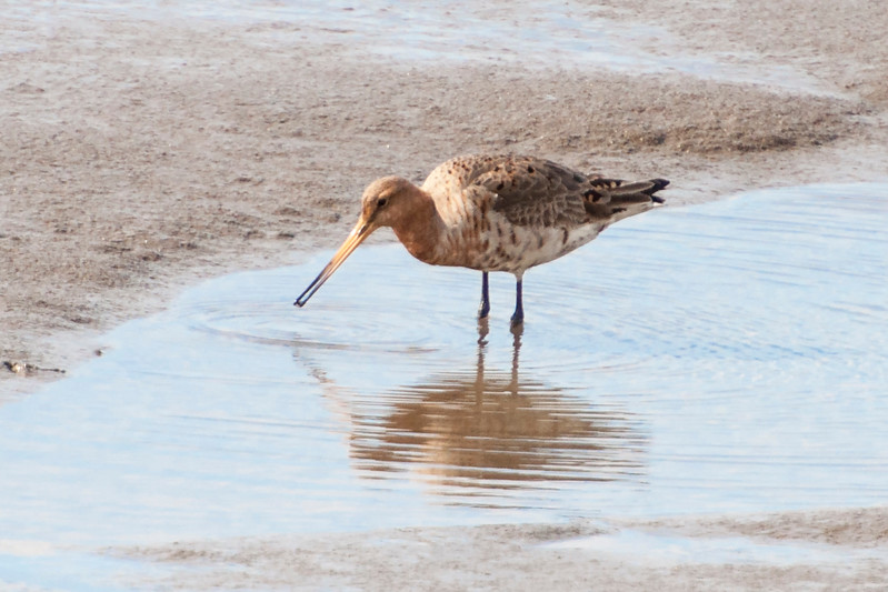 Black-tailed Godwit - female - Borgarnes, Iceland