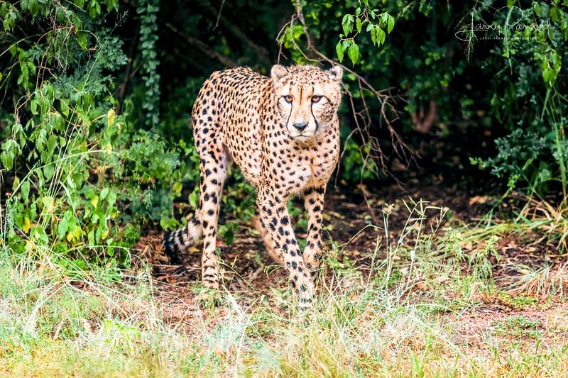 Cheetah - jungle