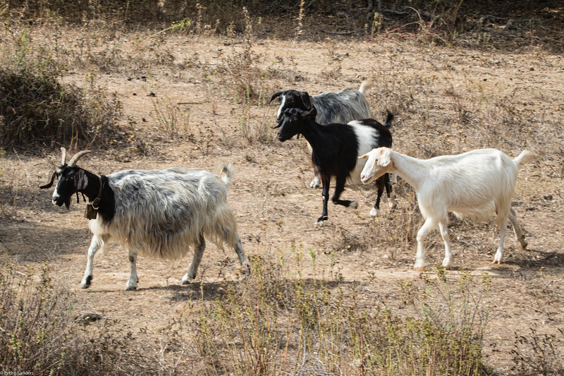 Goats on the Move