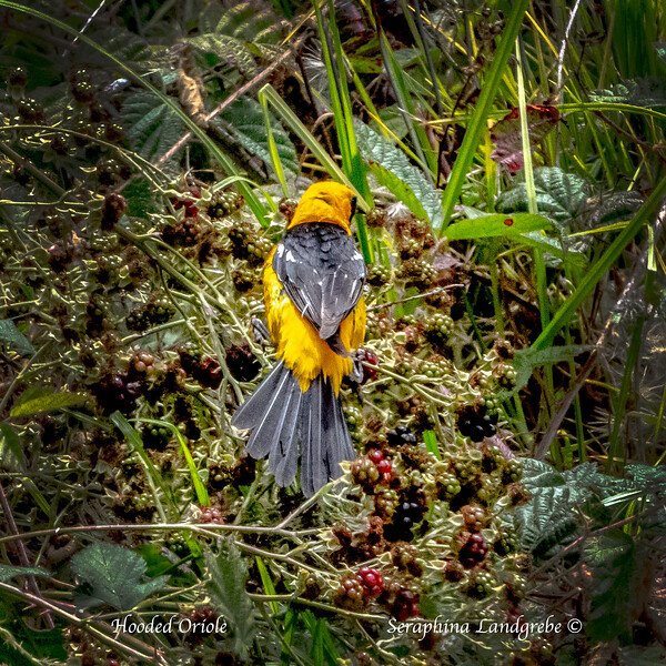_DSC1769Hooded Oriole.jpg