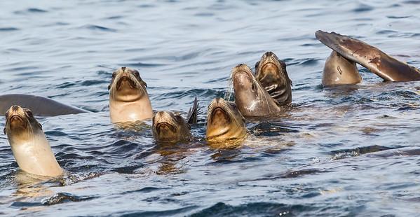 Northern Fur-seal