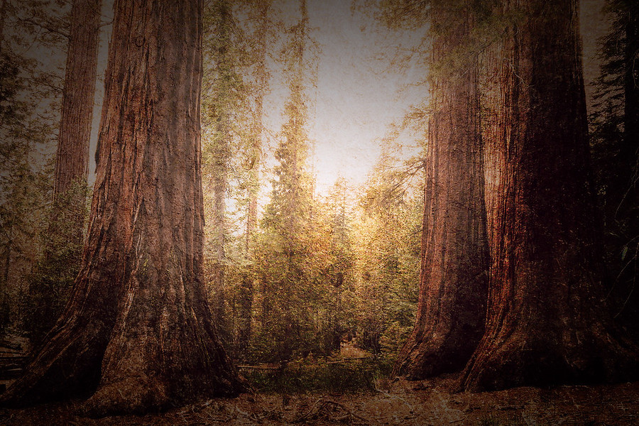 Mariposa Grove Sequoias. Some of the mighty Sequoias of the Mariposa Grove. With a few texture layers.