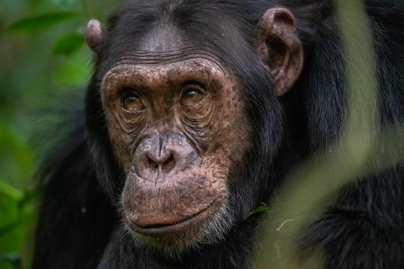 Uganda_T_Chimps-1693.jpg