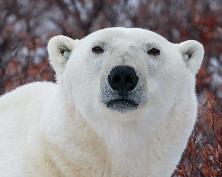 polar bear profile.jpg