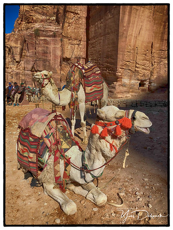 Colorful Camels Jordan