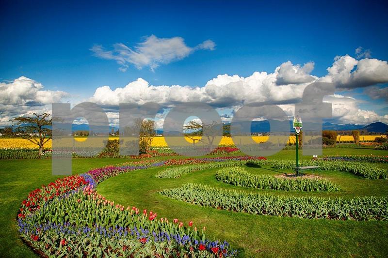 Tulips, Skagit 3958_HDR.jpg