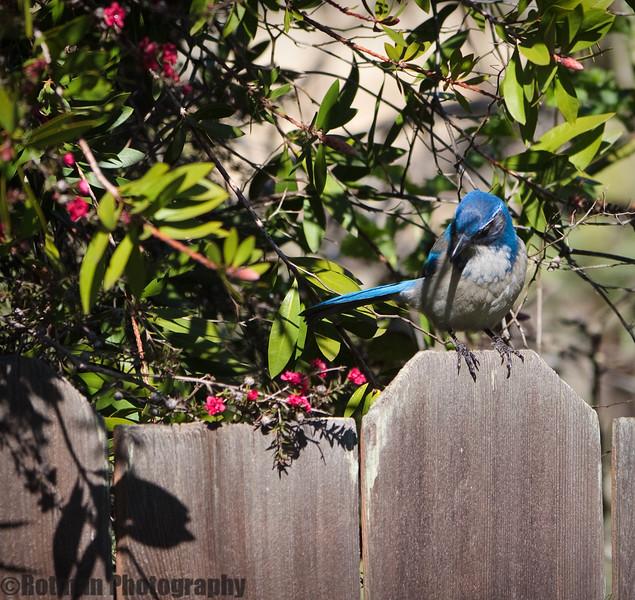 Blue Jay-7593.jpg