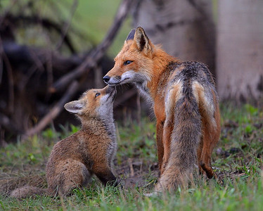 2014 photos, Foxes,Chickens, Loons,and more!