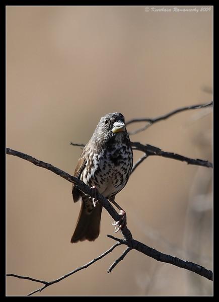 Fox Sparrow, Old Mission Dam, Mission Trails Regional Park, San Diego County, California, November 2009