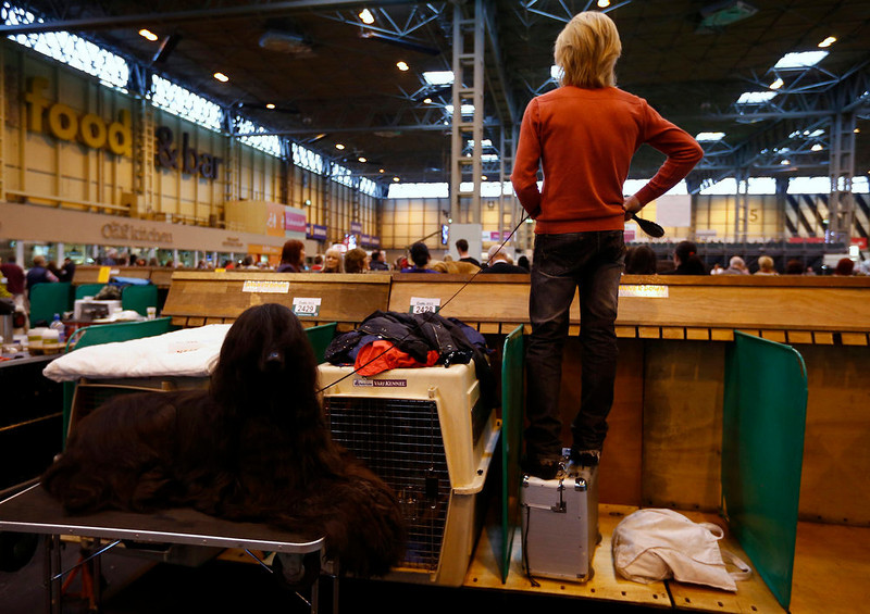 . A handler stands on a box to get a better view while his Afghan Hound sits on a table during the first day of the Crufts Dog Show in Birmingham, central England March 7, 2013. REUTERS/Darren Staples   (BRITAIN - Tags: ANIMALS SOCIETY)