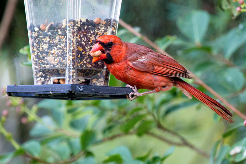 Has this Cardinal found a bigger seed that he can eat?