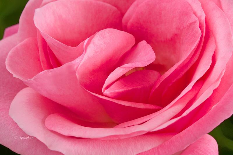 Setp 5_Pink Rose_0183.jpg