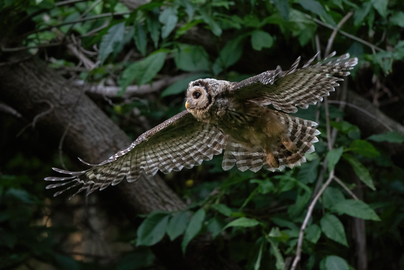 #1681 Barred Owlet