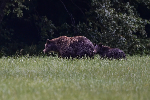 9-09-15 Bella Coola - First Grizzly Spotted