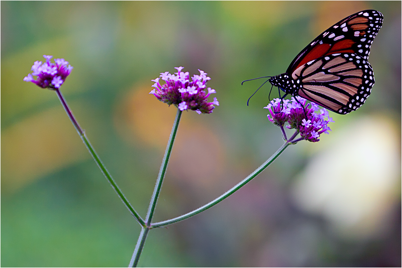 20110926_Butterfly_01.png