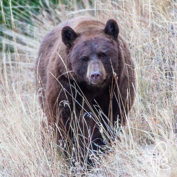 sm bear_MG_5691.jpg