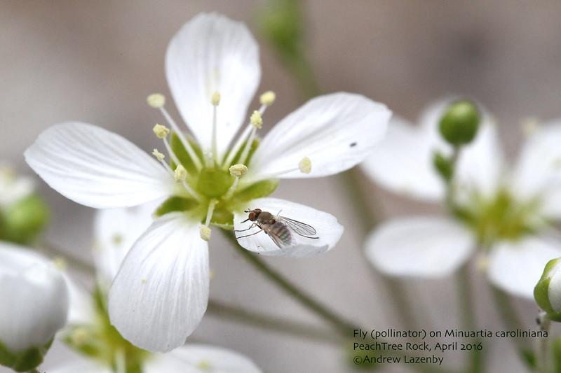 Minuartia pollinator.jpg