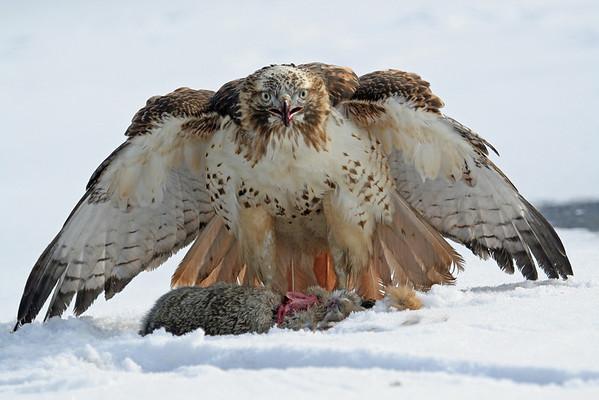 Hawk Photography