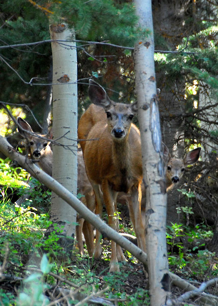 8/10/07 – The mild winter was good for the dear. We saw more this year than any previous year. This mama had her two young ones with her. I loved the way they hid behind her and then peaked out around the trees to see me.