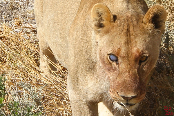 Best photo Namibia: Eye contact with lion, Etosha National Park