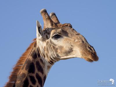Bull Giraffe Close Up