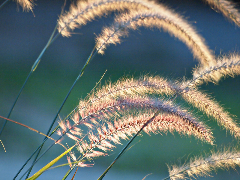 Illuminated Fountain Grass