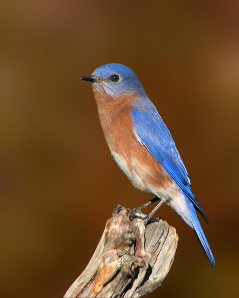 bluebird_6876b.jpg