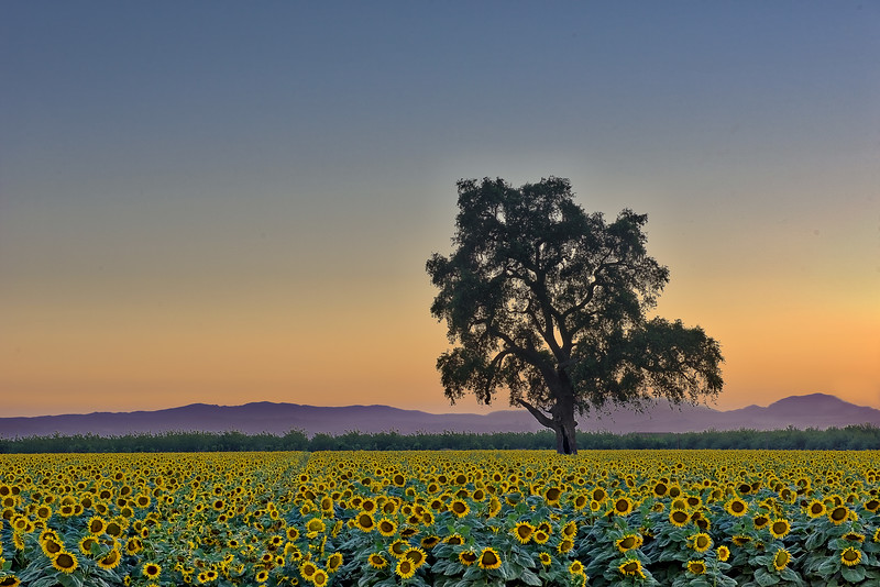 Sunflower Field- Large Oak PS Flattened_DSC0809_HDR.jpg