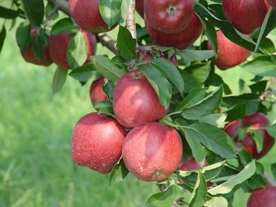 Covington Apples 2004