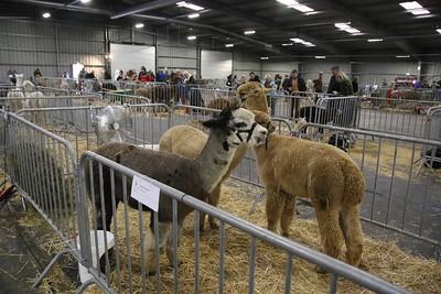 20181202 Alpacashow Weelde Depot.