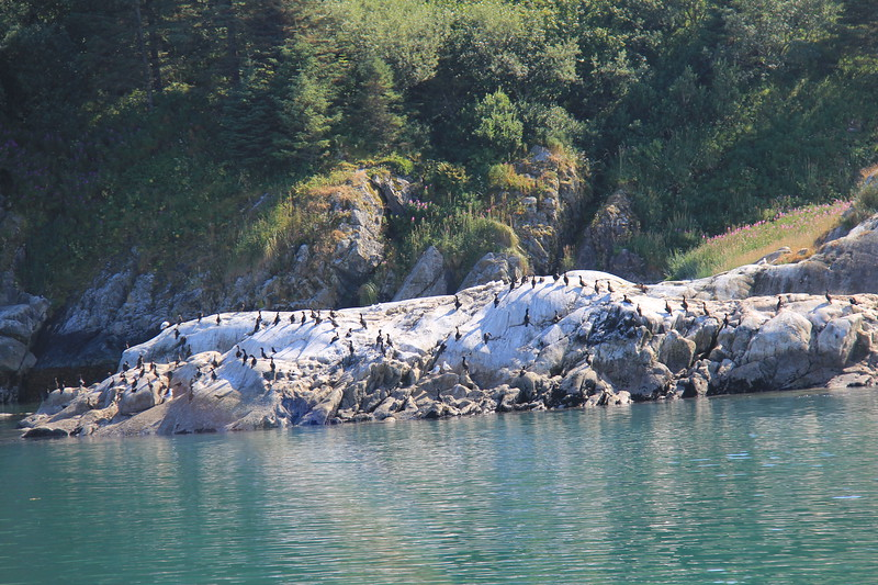 20160718-221 - WEX-Glacier Bay NP-South Marble Island-Sea Lions.JPG