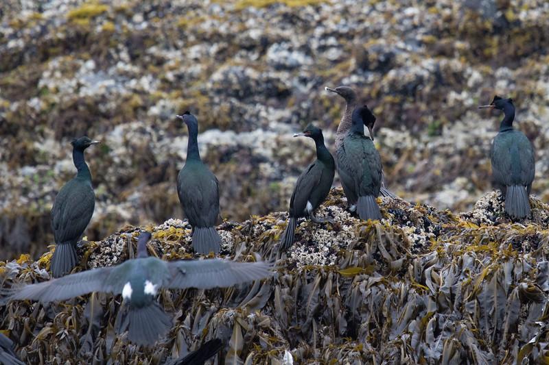 Pelagic Cormorants Sitka-3.jpg
