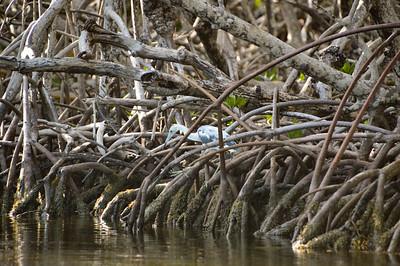 Kayaking to Lignumvitae Key - Mangroves - June, 2019